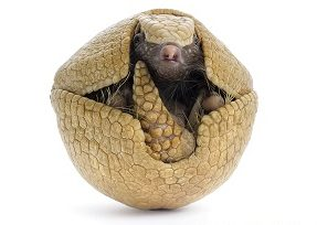 Three Banded Armadillo - Tatu